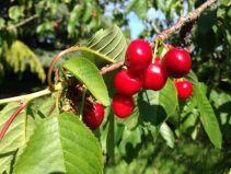 Cherry_QBR